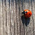 Ladybug by Maria Angelica Maira