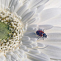 Ladybug On Daisy Petal by Garry Gay