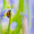 Ladybug by U Schade