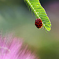 Ladybug With Mimosa by Jason Politte
