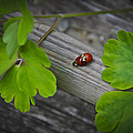Ladybugs Mating by Aged Pixel