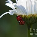 Ladybugs On Shasta Daisy by Sharon Talson
