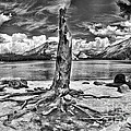Lake Tenaya Giant Stump Black And White by Blake Richards
