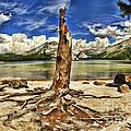 Lake Tenaya Giant Stump by Blake Richards