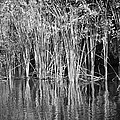 Lake Trafford Reeds by Carolyn Marshall