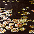 Lake Washington Lily Pad 10 by Thu Nguyen