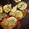 Lake Washington Lily Pad 11 by Thu Nguyen