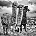 Lama lineup by John Farnan