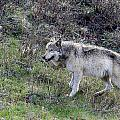 Lamar Wolf 776f by Keith R Crowley