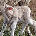 Lamb Babe by Kim Clark