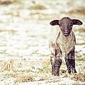 Lamb by Cheryl Baxter