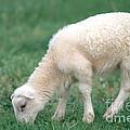 Lamb by David Davis