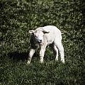 Lamb by Joana Kruse