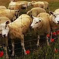 Lambs by TouTouke A Y
