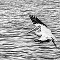 Landing Pelican In Black And White by Thomas Young