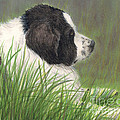 Landseer Newfoundland Dog In Grass Pets Animal Art by Cathy Peek