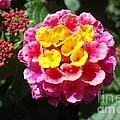 Lantana Blooms And Buds by Paula Talbert