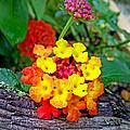 Lantana Flowers 2 by Duane McCullough