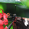 Laparus Doris Butterfly by Optical Playground By MP Ray