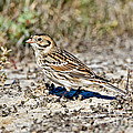Lapland Longspur by Anthony Mercieca