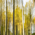 Larch Grove Blurred by Anne Gilbert