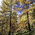 Larch Pines by Timothy Hacker