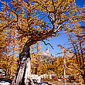 Larch Tree Frames Prusik Peak by Tracy Knauer