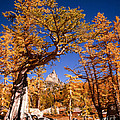 Larch Trees Frame Prusik Peak by Tracy Knauer