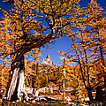 Larches Frame Prusik Peak by Tracy Knauer