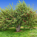 Large Apple Tree by Anthony Sacco