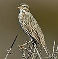 Large-billed Savannah Sparrow by Anthony Mercieca