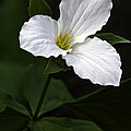 Large Flowered Trillium by Dale Kincaid