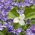 Large-flowered Trillium Great Smoky Mts by Steve Gettle