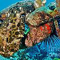 Large Frogfish by Thomas Major
