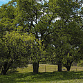 Large Green Oak Trees by Gregory Dean