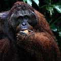 Large Male Orangutan Borneo by Carole-Anne Fooks