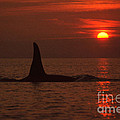 Large Male Orca At Sunset Off Of San Juan Island Washington Pa Hathaway  1986 by California Views Archives Mr Pat Hathaway Archives