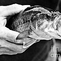 Large Mouth Bass by Cheryl Baxter