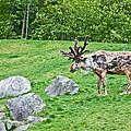 Large Reindeer Molting In Summer Pasture Art Prints by Valerie Garner
