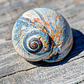 Large Snail Shell by Laura Duhaime