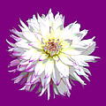 Large White Dahlia On Purple Background. by Rosemary Calvert