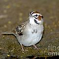 Lark Sparrow by Anthony Mercieca