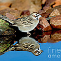 Lark Sparrow Chondestes Grammacus by Anthony Mercieca