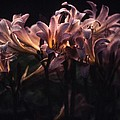 Last Light Lillies by Doug Barber