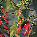 Last Of The Peppers by Ericamaxine Price