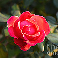Last Rose Of Summer by Luther Fine Art