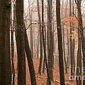 Late Autumn Beech by Anne Gilbert