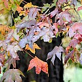 Late Autumn Maples by Maria Urso
