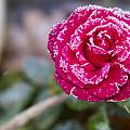 Late Blossom by Joe Gartner