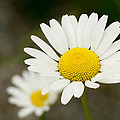 Late Daisies by Jessica Lowell
